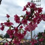 サクラ、咲く 沖縄 ~1月最後の仕入れ~